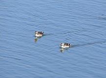 Fläck-fakturerade änder på Randarda sjön, Rajkot, Indien arkivfoton