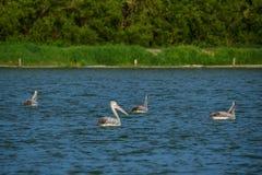 Fläck-fakturerade pelikan i naturen Arkivfoton