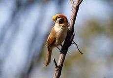 Fläck-gick mot Parrotbill Paradoxornis guttaticollis Arkivfoto