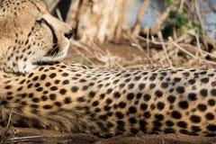 Fläckar av en gepard Royaltyfri Foto