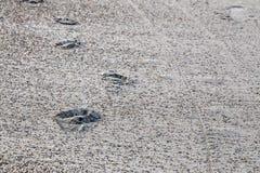 Fläckar av fot i sanden Royaltyfri Foto