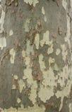 Fläckig bakgrund för för sykomorträdskäll och stam eller textur, närbild Arkivfoto