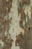 Fläckig bakgrund för för sykomorträdskäll och stam eller textur, närbild Royaltyfri Bild