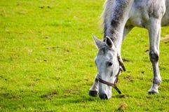 Fläckig grå häst i en halter Royaltyfria Bilder