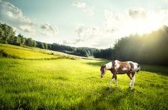 Fläckig häst på en äng Fotografering för Bildbyråer