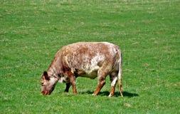Fläckig oxe i ett fält Royaltyfria Foton