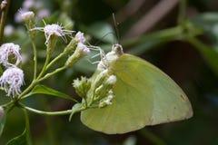 Fläckig utvandraresmörfluga - närbild i Kandalama Sri Lanka royaltyfria foton