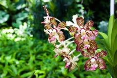 Fläckvioletorchid Royaltyfria Bilder