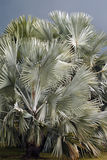Fläkta palmträdet, Bismarckia nobilis, i Florida Royaltyfri Foto