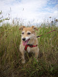 Flämtande gullig hund i långt gräs Royaltyfri Bild