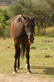 Flämtande häst Royaltyfria Foton