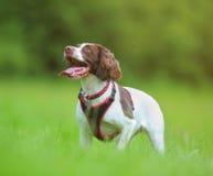 Flämtande hund royaltyfria bilder