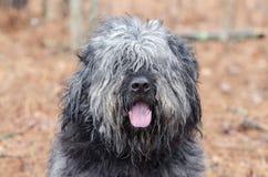 Flämtande tunga för stor grå fluffig fårhundtyphund arkivfoto
