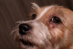 Flår kliande ögon för hundallergi nad-pälssjukdomen Closeupskrapor royaltyfri fotografi