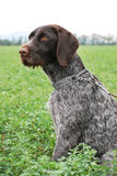Flèche indicatrice Wirehaired Photos stock