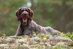 Flèche indicatrice Wirehaired allemande Images libres de droits
