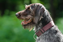 Flèche indicatrice Wirehaired allemande Image stock