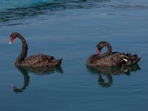 Flöte för svarta svanar i havspöl Arkivbilder