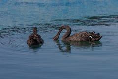 Flöte för svarta svanar i havspöl Arkivfoton
