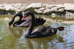 Flöte för två svarta svanar i sjön Förälskelsepar av svarta svanar Arkivfoton