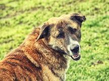 Flüchtiger Blick des braunen Hundes auf einem Hintergrund des grünen Grases Lizenzfreie Stockfotografie