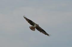 Flügel verlängert von einem Fischadler Lizenzfreie Stockbilder