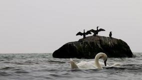 Flügel-wellenartig bewegende Kormorane im Ostmeer, Göhren, Deutschland stock video