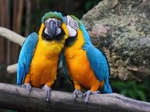Flüsternder Macaw Lizenzfreies Stockfoto