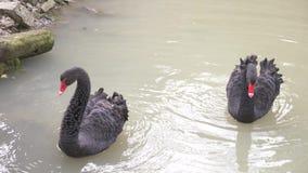 Fl?te f?r tv? svarta svanar i sj?n F?r?lskelsepar av svarta svanar H?rligt djurlivbegrepp n?rbild 4k, ultrarapid arkivfilmer