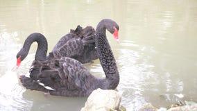 Fl?te f?r tv? svarta svanar i sj?n F?r?lskelsepar av svarta svanar H?rligt djurlivbegrepp n?rbild 4k, ultrarapid stock video
