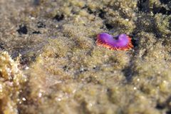 Flabellina havskula, Crystal Cove, Newport strand, Kalifornien Royaltyfria Foton
