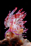 Flabellina rubrolineata Royalty Free Stock Photography