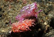 Flabellina Rubrolineata Couple Stock Photos