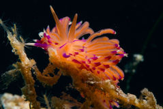Flabellina species of nudibranch Stock Image