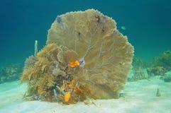 Flabellum de corail mou la Caraïbe de Gorgonia de fan de venus Photographie stock