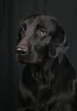 Flach-überzogener Apportierhund Lizenzfreies Stockbild