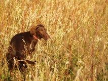 Flach-überzogener Apportierhund Lizenzfreie Stockfotografie