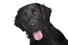 Flach-Überzogener Apportierhund Stockfotos