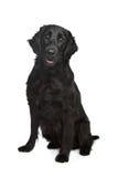 Flach-Überzogener Apportierhund Lizenzfreies Stockfoto