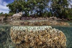 Flache Feuer-Koralle Lizenzfreies Stockfoto