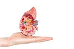 Flache Hand, die Modell mit innerhalb menschlicher Niere zeigt Lizenzfreies Stockfoto