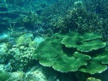 Flache Koralle Stockfotografie