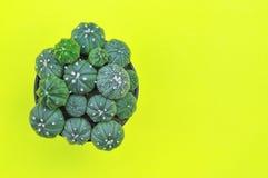 Flache Lage von Kaktuspflanzen auf gelbem Hintergrund Stockbilder