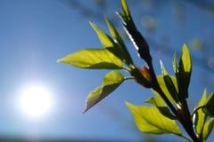 Flache Schärfentiefe Junge Grünblätter auf einer Niederlassung Der blaue Himmel des Frühlinges und die Morgensonne stockbild