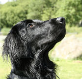 Flacher Mantel-Apportierhund Stockfoto