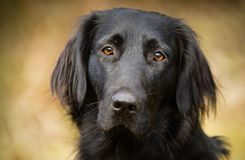 Flaches überzogenes Retrieverhundeporträt Stockbild