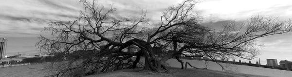Flachgedrückter Baum Stockfotografie