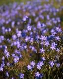Flachs (Linum lewisii) Stockfotos