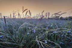 Flachs und Federgras auf Sonnenaufgang stockfoto