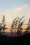 Flachsbuschschattenbild hinter NZ-Sonnenuntergang Stockbild